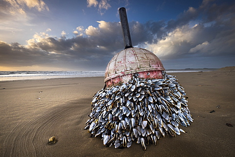 A colony of Goose barnacles has grown attached to a disconnected buoy, now washed up on Llanddwyn Beach, West Anglesey, Wales, United Kingdom