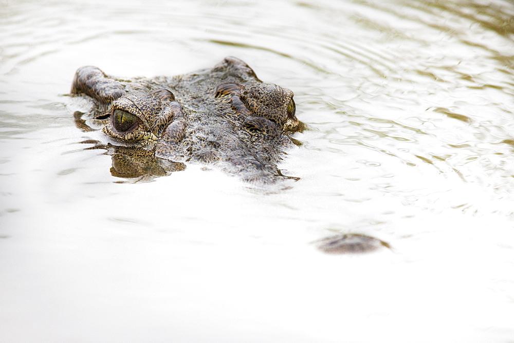 Stock photo of partially submerged Nile crocodile