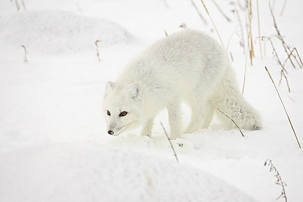 White arctic fox in the snow image