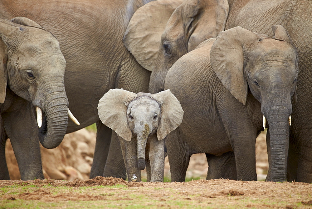 Wild African elephants with baby in National Park