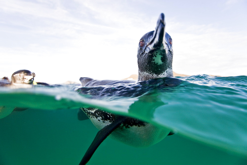 Stock photo of Galapagos penguin (Spheniscus mendiculus) split view underwater