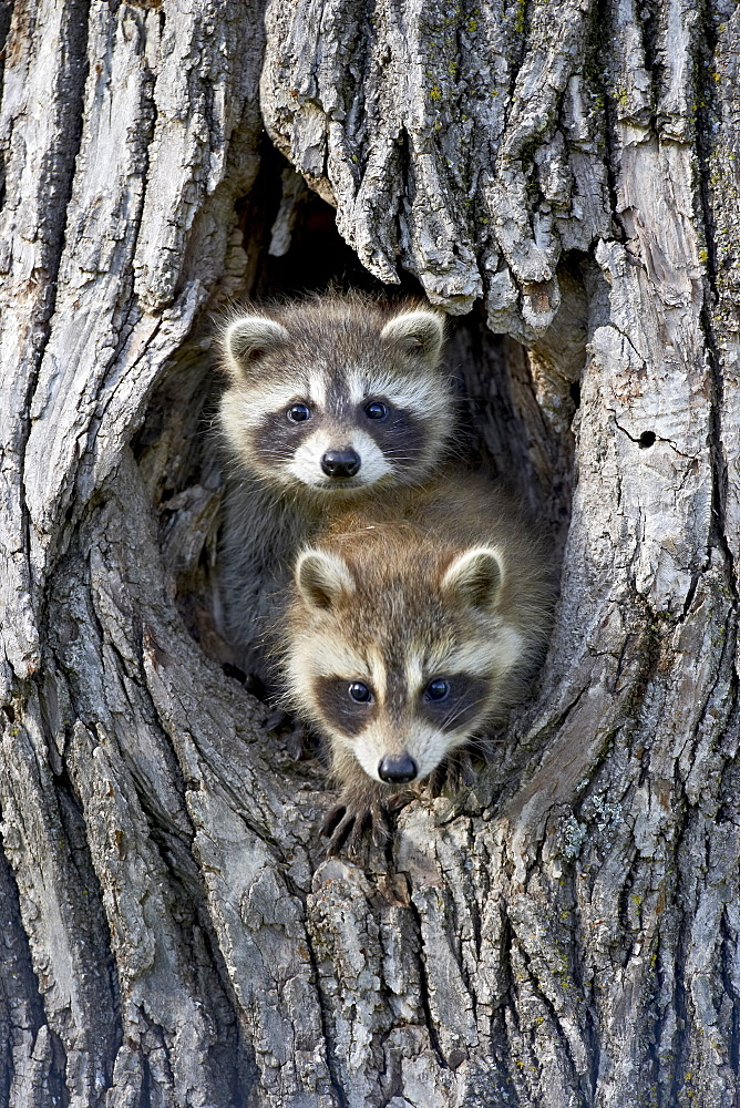 Two baby raccoon Procyon lotor in a tree in captivity