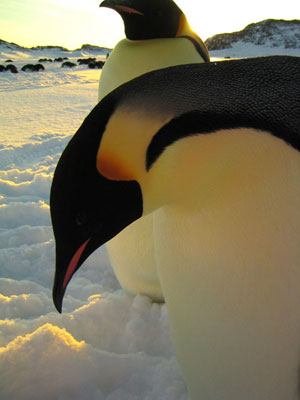 March of the Penguins Movie Stills: Luc Jacquet