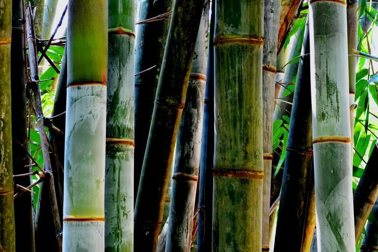 bamboo trees 1 photography