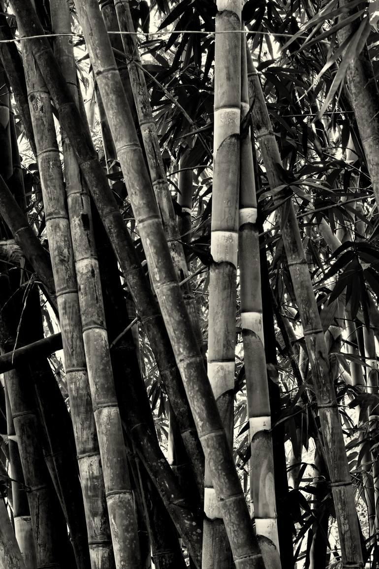 bamboo trees 3 photography