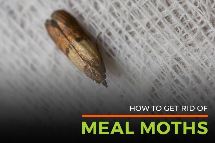 Meal  Pantry Moths Facts  Pantry Moth Control  Life Cycle