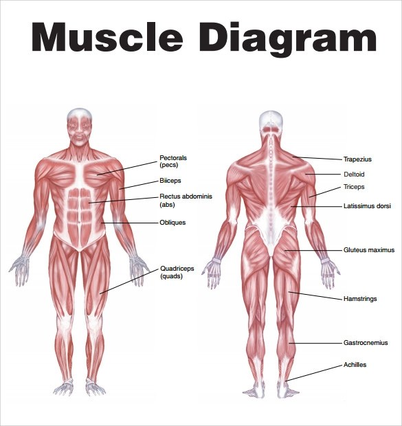 human muscular system blank diagram data wiring 7 muscle chart templates to free download | sample