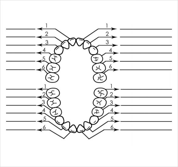 diagram of mouth with teeth numbers wb festiva wiring sample chart template 10 free documents download in pdf baby