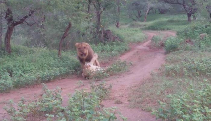 lioness inmeting