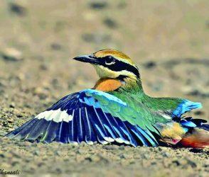 આ પક્ષી આફ્રિકાથી ગીરના જંગલમાં આવે એટલે વરસાદ પડે તેવું કહેવાય, Photos
