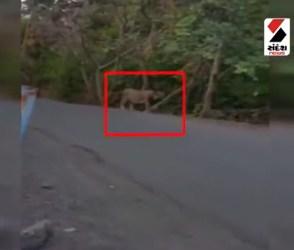 સિંહનો રસ્તા પર લટાર મારતો, જુઓ Viral Video