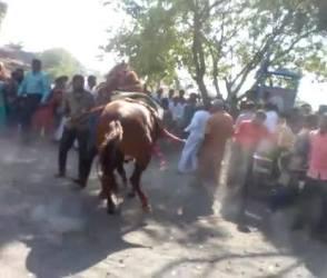 વરઘોડામાં ઘોડી બની બેકાબૂ, જાનૈયાઓને લીધા ધડાધડ અડફેટે, જુઓ Video