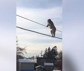 Video : વાંદરાઓનું આવુ સાહસ અને ગજબની શિસ્તતા ક્યારેય નહીં જોઈ હોય