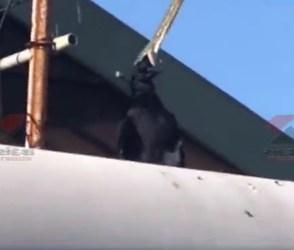 ટીવી એન્ટીનાથી લટકીને કાગડાનો અજગરે કર્યો શિકાર, જુઓ આ ખતરનાક વીડિયો