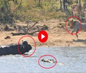 ભેંસે પાણીમાં મગરમચ્છ અને બહાર સિંહને બરાબરનો હંફાવ્યો, લાખો લોકો જોઇ રહ્યા છે આ Video