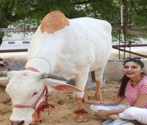 Photos: સપના ચૌધરીનો દેશી અવતાર, નવી તસવીરોમાં જોવા મળી ગાય સાથે