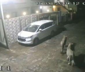 અમરેલીમાં મધરાત્રે 2 સિંહણોએ કર્યો ગાયોનો શિકાર, કાચા-પોચા હૃદયવાળા Videoથી દૂર રહે