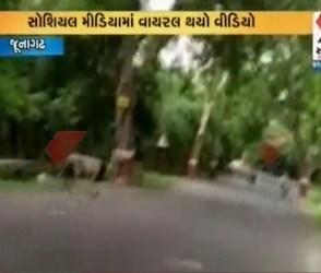 જૂનાગઢ: રોડ પર સિંહ કરતો હતો આંટાફેરા, VIDEOમાં જુઓ જંગલના રાજાનો ઠાઠ