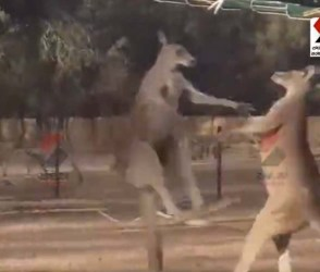 તમે ક્યારે કાંગારુઓને લડતા જોયા છે? આ અદ્ભુત Video જોઈ તમારી આંખો પણ થઈ જશે પહોળી