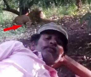 બહાદુરી બતાવવા ભાયડો સિંહ આગળ જઈને સુઈ ગયો, VIDEO વાયરલ થતાં ખળભળાટ મચી ગયો