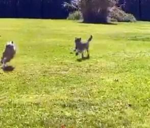 3 મહીનાના ચિત્તાના બચ્ચાએ કૂતરાની લીધી એવી ક્લાસ કે ઉભી પૂછડીએ ભાગવું પડ્યું – Video