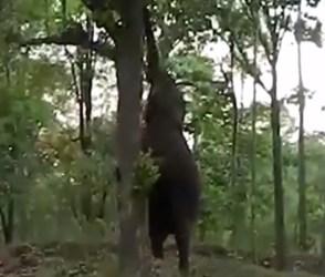 પેટ કરાવે વેઠ, ભૂખ્યા હાથીએ હવામાં ઉછળીને તોડ્યું ઝાડ પરથી ફળ અને પછી…જુઓ Video