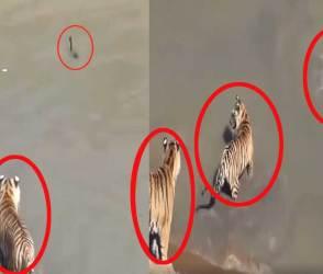 4 ખુંખાર વાઘ ભેગા થઈને એક નાનકડી બતક પાસે મામુ રમી ગયા, વીડિયો પેટ પકડીનેે હસાવશે