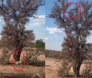 VIDEO: આખા જીવનમાં ક્યારેય આવો શિકાર નહીં જોયો હોય! દીપડાની હવામાં ડાઈવ જોઈને ફફડી જશો