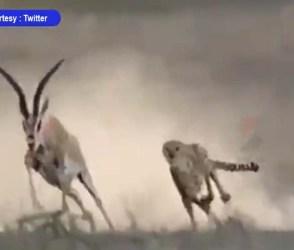 ચિત્તા અને હરણ વચ્ચે જીવન-મરણનો ખેલ, શિકારી અને શિકારનો અદ્ભુત Video વાયરલ