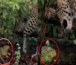VIDEO: હવે સમય બદલાયો, દીપડા જેવા ઘાતક પ્રાણીને પણ નાનકડા દેકડાથી ભાગવું પડે છે!