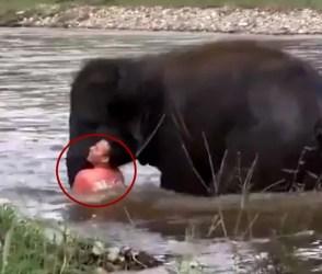 ડૂબતા વ્યક્તિને બચાવવા હાથીના બચ્ચાએ નદીમાં લગાવી ડૂબકી, અને પછી.. ખરેખર જોવા જેવો Video
