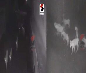 જંગલના રાજા નગરચર્ચાએ નીકળ્યા! સિંહનું ટોળું CCTVમાં કેદ…Video જોઈ રૂવાડા ઉભા થઈ જશે