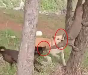 બે અપલખણા કૂતરાએ ઘો પર કર્યો ખતરનાક હુમલો, વીડિયો જોઈ તમારી આંતરડી કકડી ઉઠશે!