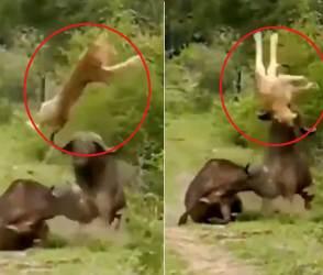VIDEO: ખીજાયેલ ભેંસે સિંહને લમધારી નાંખ્યો, જંગલના રાજાને હવામાં જ બે-ત્રણ ગુલાંટ મરાવી દીધી
