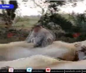 વાંદરાની આવી રાજાશાહી વાળી સવારી તમે ક્યારેય નહીં જોઈ હોય, જૂઓ Video