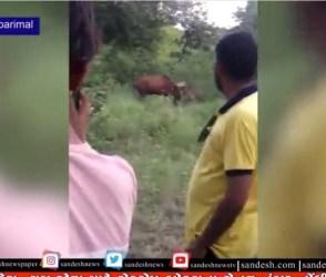 VIRAL VIDEO : સિંહ શિકાર કરી રહ્યો હતો અને નજીકમાં લોકો જીવના જોખમે સેલ્ફી લઈ રહ્યા છે