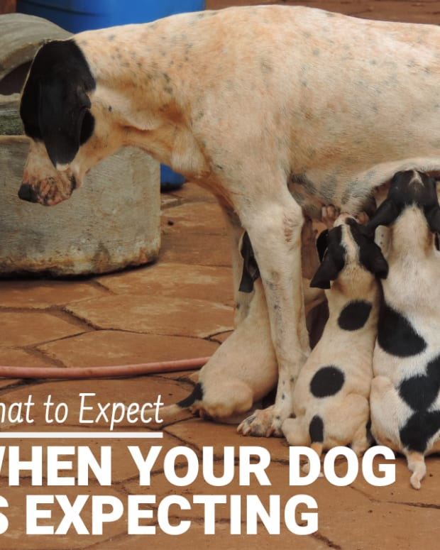 Why Do Dogs Get Stuck After They Mate : stuck, after, Signs, Pregnancy, PetHelpful, Fellow, Animal, Lovers, Experts