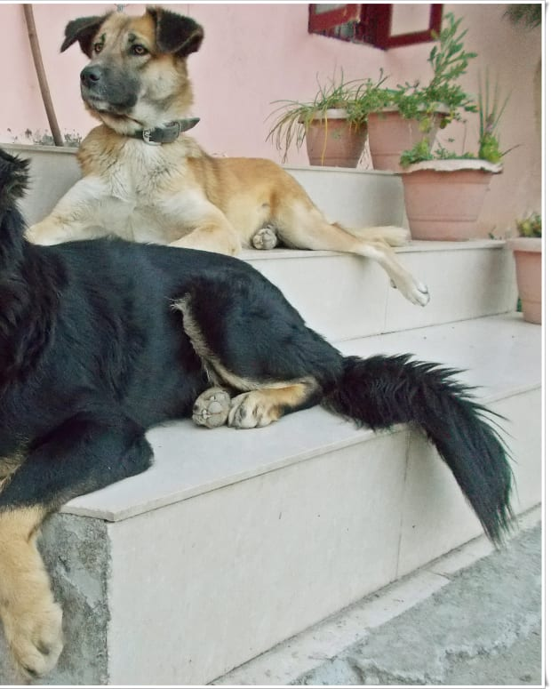 How To Separate Dogs After Mating : separate, after, mating, Females, PetHelpful, Fellow, Animal, Lovers, Experts