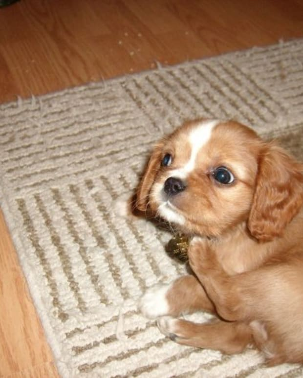 Cavalier King Charles Spaniel Puppy Cut : cavalier, charles, spaniel, puppy, Charles, Spaniel, PetHelpful, Fellow, Animal, Lovers, Experts