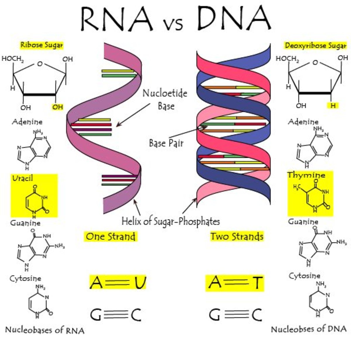 The Differences Between Dna And Rna Explained With