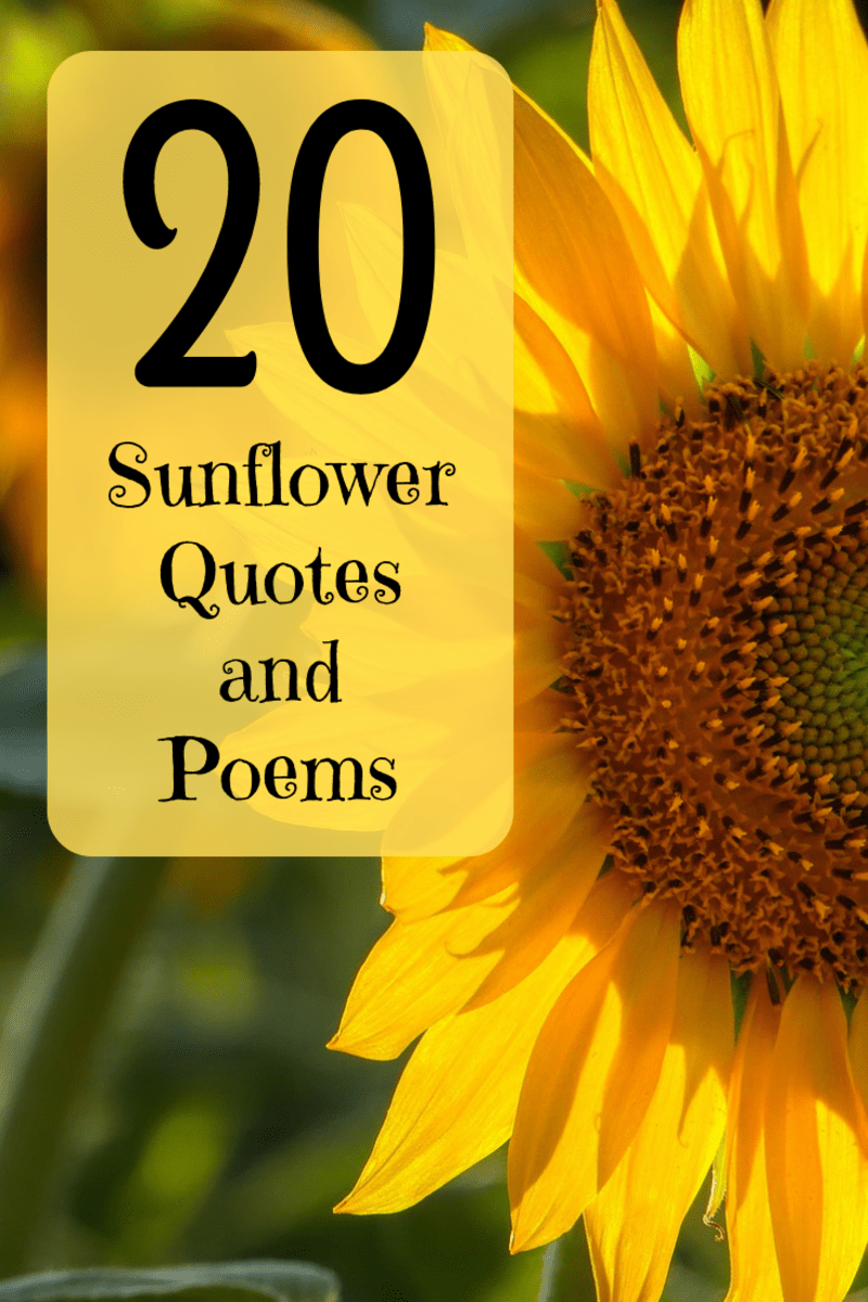 Sunflower Love Quotes : sunflower, quotes, Happiest, Sunflower, Quotes,, Poems,, Sayings, Holidappy, Celebrations