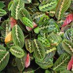 How To Grow A Prayer Plant Dengarden Home And Garden
