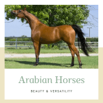 Arabian Horse Qualities History And Competitions Owlcation Education