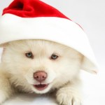 Holiday Puppies Should You Get A Puppy For Christmas Pethelpful By Fellow Animal Lovers And Experts