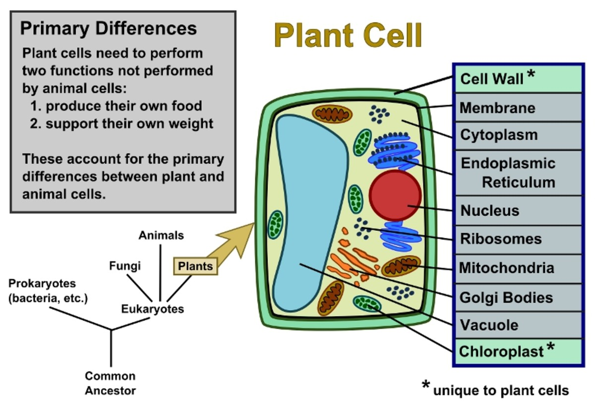 hight resolution of Plant Cells Vs. Animal Cells (With Diagrams) - Owlcation - Education