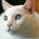 Top 10 Weirdest Cat Breeds Pethelpful By Fellow Animal Lovers And Experts