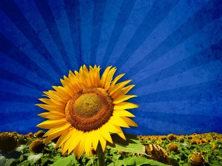 Fall Sunflowers Wallpaper Fall Worship Backgrounds Fall Backgrounds