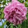 Found Rose Grandmother S Hat Rose Biblio