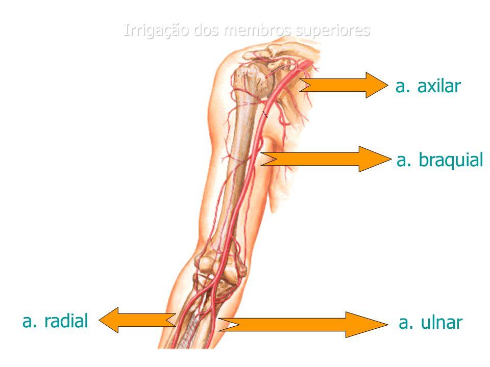 Atractivo Arteria Braquial Ilustración - Imágenes de Anatomía Humana ...