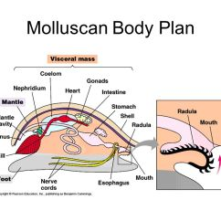 Mollusca Diagram Labeled 1998 Dodge Neon Stereo Wiring Body Plan Manual E Books Basic Muscular Foot Gills Mantle U2013 May Secrete A3 Molluscan
